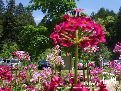 くりん草は花茎を中心に円状になっており数段に重なる姿が仏閣の屋根にある「九輪」に似ていることから名前の由来となっています
