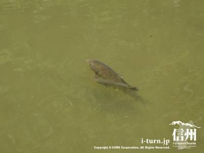 池には鯉が泳いでいました
