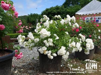 鉢植えの綺麗なバラ