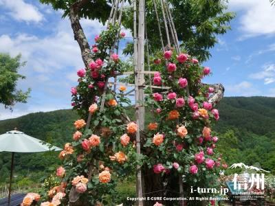 木に這わしたオレンジとピンクのバラがとても綺麗