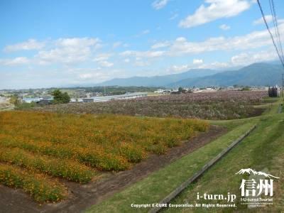 コスモス畑が延々と広がっているので場所はすぐにわかります