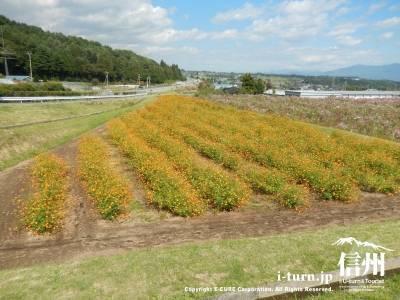 オレンジ色のコスモス畑