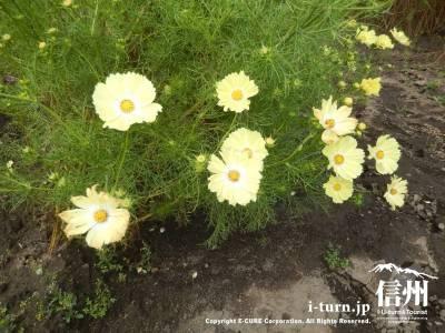 花の中心のあたりにむかって白くグラデーションになっています