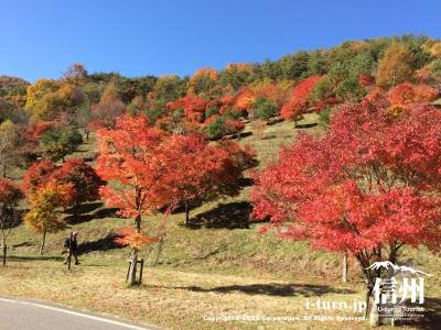 キレイに整備された山に紅葉が植えられています