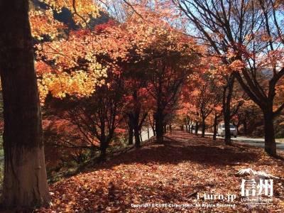 この並木エリアは見頃が少し遅かったようで落ち葉の絨毯が楽しめました