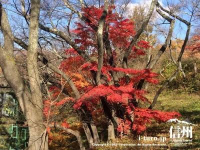 桜の木に絡みながら咲いているもみじ