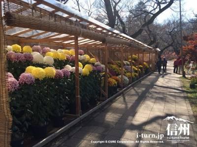 沢山の菊がずらりと並んでいます