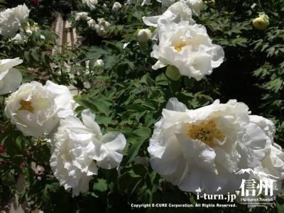 真っ白な花