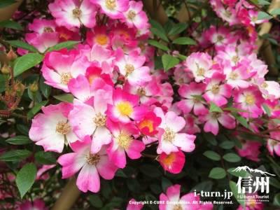 小さな赤いバラが綺麗に咲いています