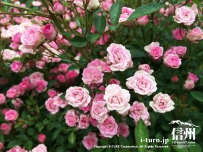 ピンクでとても可愛らしいこの花は「須恵姫」