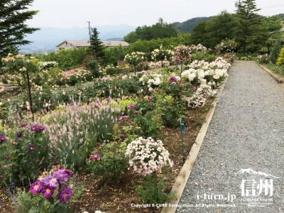 様々な種類のバラが咲いています