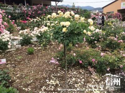 スタンダード仕立てのバラも多くありました