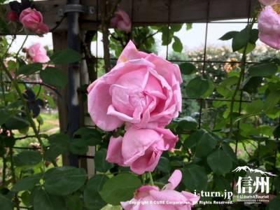 ピンク色のバラも可愛いです