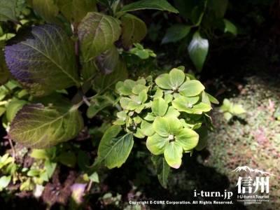 葉のような花はグリーンアジサイ