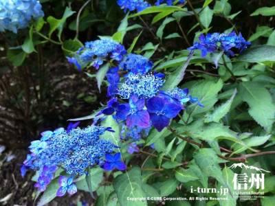 藍色が綺麗な藍姫