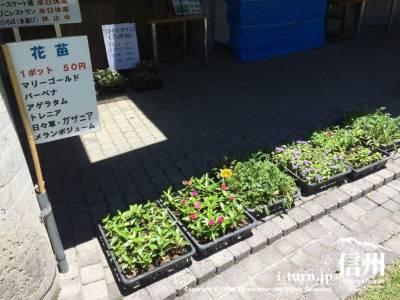花の苗が販売されています