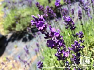 綺麗な紫の花が咲いています
