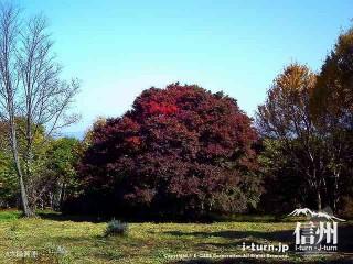 大峰高原中カエデ'09|大カエデよりも一回り小さな木|池田町