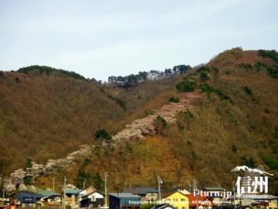 光城山|中腹まで開花した桜並木|安曇野市豊科