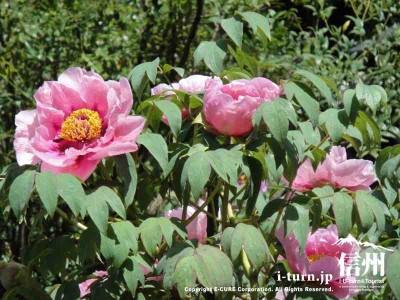 玄向寺|ぼたん祭り・雅楽の演奏会で花見と音楽観賞|松本市大村