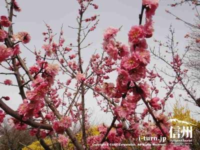 信州伊那梅苑 その2|観光見どころ百選花群落|箕輪町一の宮