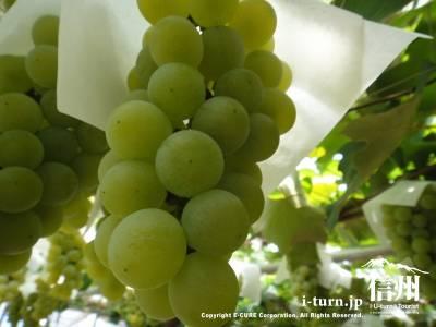 土田園|信州桔梗ヶ原果実の郷でブドウ狩り|塩尻市宗賀
