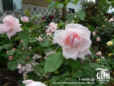 蔵の宿みらい塾「みらいバラ園」|バラがみごとなオープンガーデン|伊那市長谷
