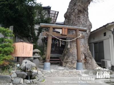 槻井泉(つきいずみ)神社の湧水|高さ25メートルのケヤキの下に湧く泉|松本市