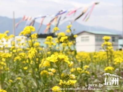 道の駅ほりがねの里(ほりがね物産センター)の菜の花畑|菜の花とこいのぼり|安曇野市堀金