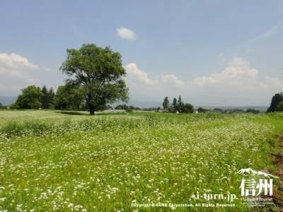 あづみの公園事業用地のそば畑|そばの花咲く「おひさま」農村ロケ地|安曇野市堀金