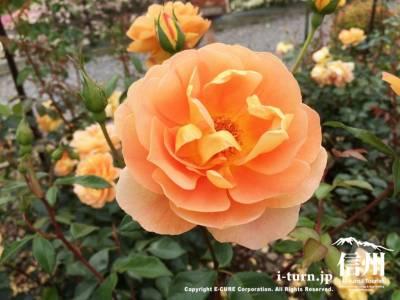 南信州四季彩の丘スイートガーデン|約135種1500本の見事なバラ|飯田市山本