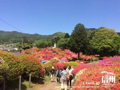 鶴峯公園|約3万株のツツジが咲き誇る|岡谷市川岸