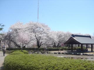 公園内は桜が満開