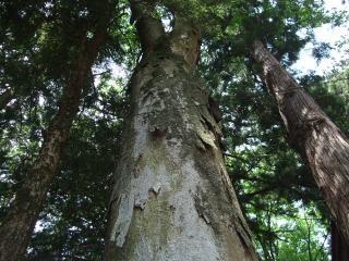 波多神社 杉の木