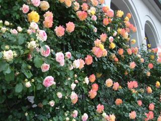 豊科近代美術館 入口前のバラ