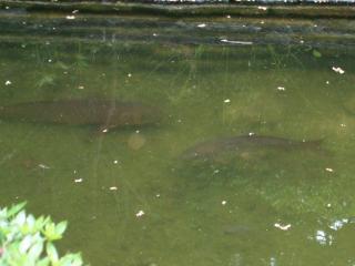 ロータリーの鯉
