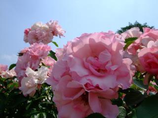 豊科近代美術館バラ園 ピンクのバラ