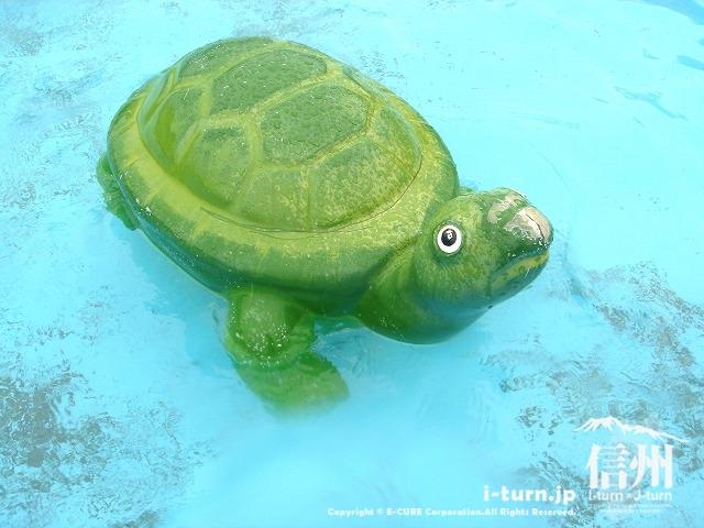 乳児プールのカメ