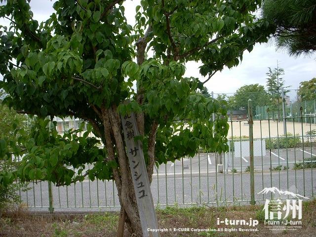旧開智学校の記念植樹サンシュユ