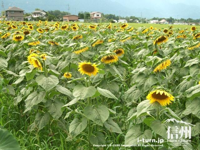 ホースランドの隣にある向日葵畑