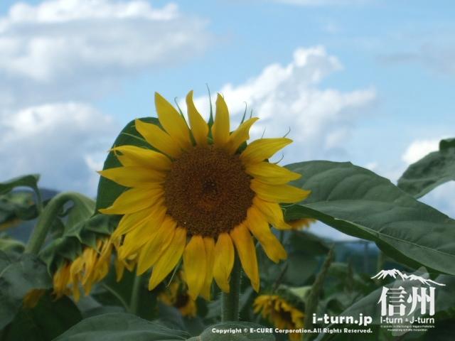 向日葵をアップで