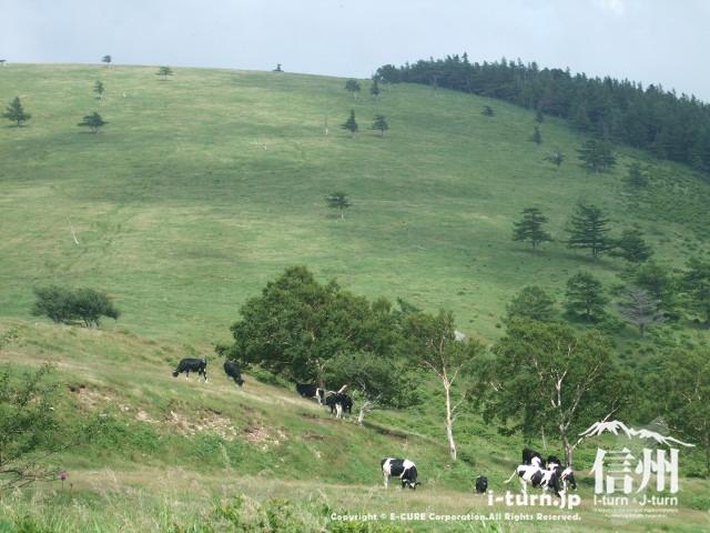 美ヶ原の放牧風景