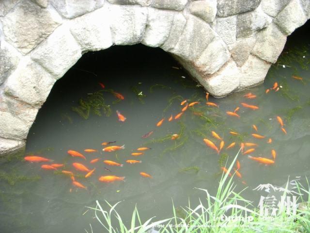 御幸橋の下には魚が泳いでいます