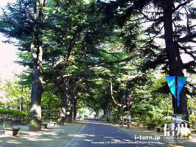 ヒマラヤ杉の並木道