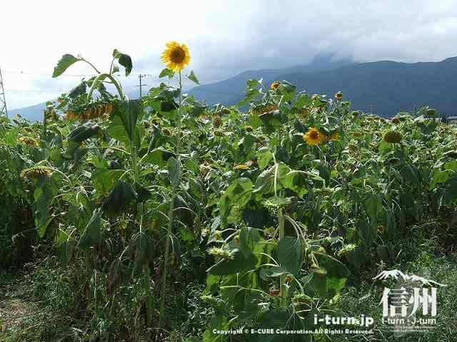 アルプス安曇野ほりがねの里の隣にある向日葵畑