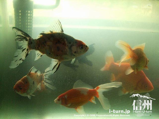 大きな金魚