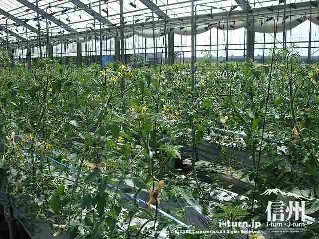 マジあまトマト11月~収穫