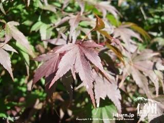 大峰高原中カエデ 黒っぽい葉