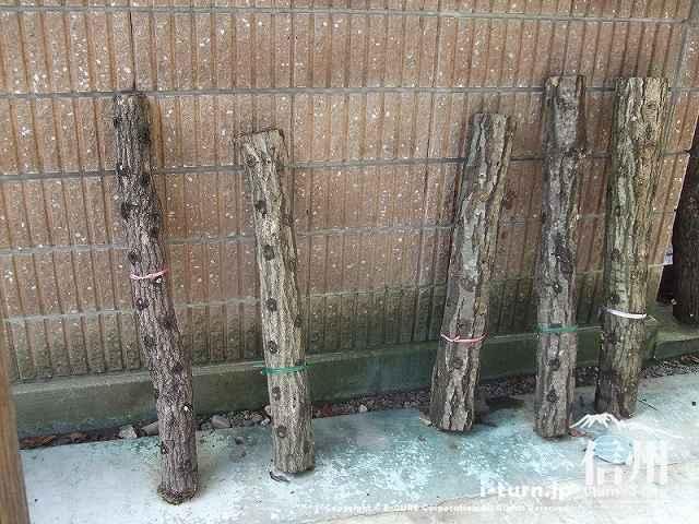 東光寺 和尚さん像の下にしいたけ栽培