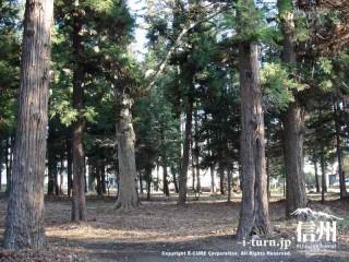 鎮守の森は針葉樹林の林